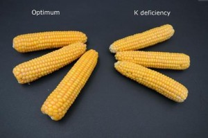 potassium deficiency vs healthy plant - maize-main image